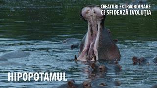 Hipopotamul - Creaturi extraordinare care sfideaza evoluția