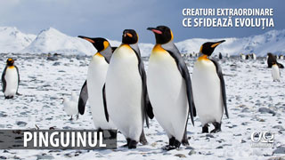 Pinguinii - Creaturi extraordinare care sfideaza evoluția
