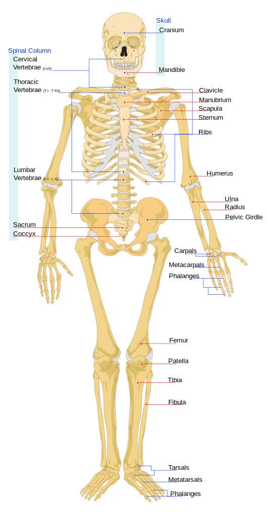 schelet tall